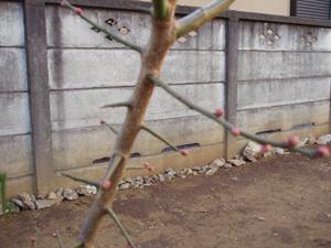 庭の梅2.jpg